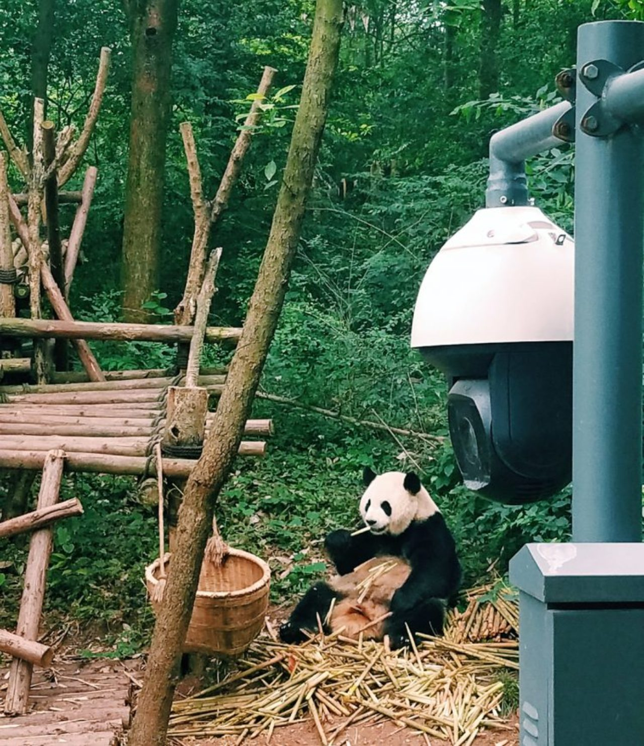 The Chengdu Research Base of Giant Panda Breeding protects the species and allows the black-and-white bears to live in their own habitats.