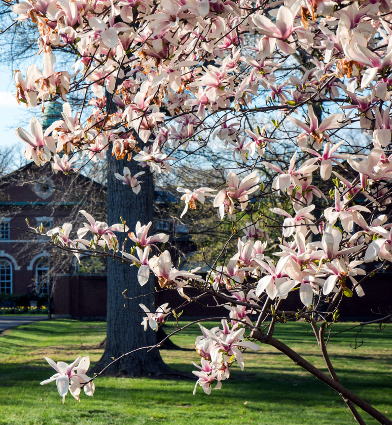 Magnolia blossoms bloom in the spring at FDU's Florham Campus. (Photo by Joshua Siniscal)
