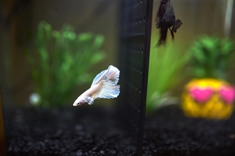 Fish swim in a tank.